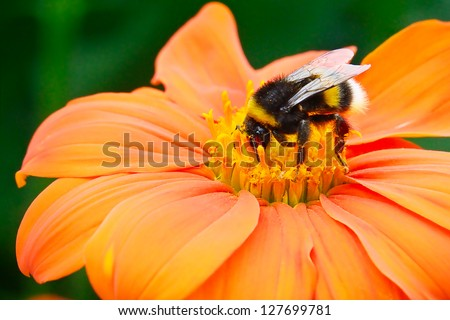 Bumble bee pollinating a flower - stock photo