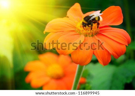 Bumble bee pollinating a flower lit by the sun - stock photo