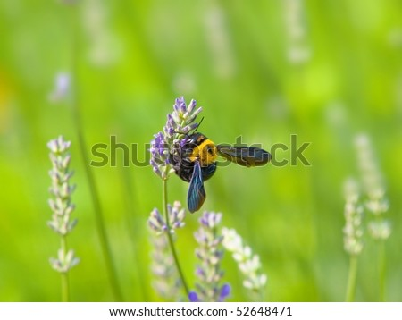 Bumble bee pollinating a lavender flower in a green meadow - stock photo