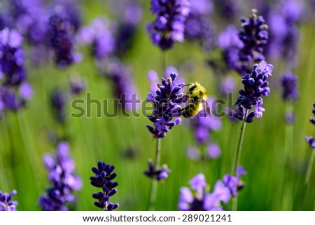 Bumble bee pollinating lavender - stock photo