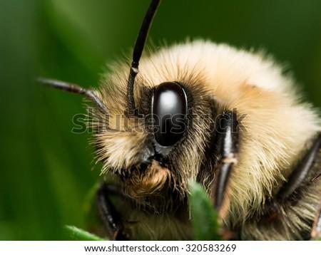 Bumble Bee Portrait - stock photo
