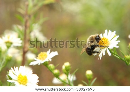 Bumble Bee Resting - stock photo