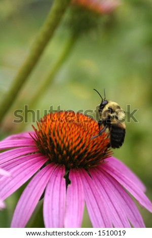 Bumble Bee taking flight off cone flower - stock photo