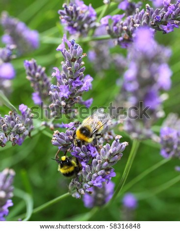 bumble bees collecting pollen - stock photo