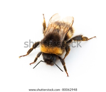 Bumblebee against a white background - stock photo