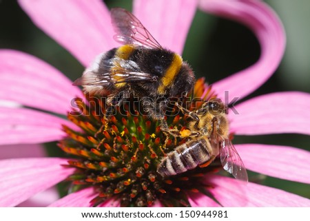 Bumblebee and bee pollinating and feeding on a echinacea (coneflower)