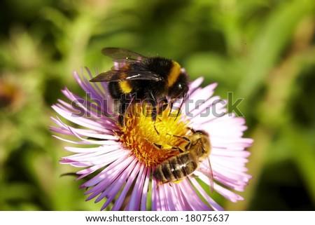 Bumblebee & Bee on flower - stock photo