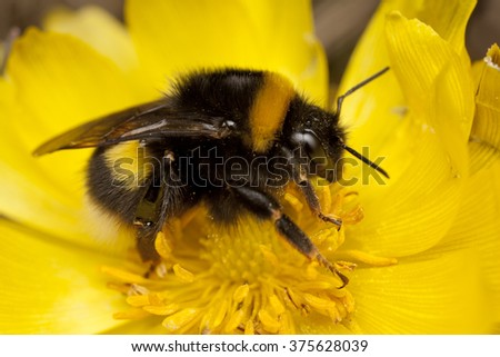 Bumblebee (Bombus sp.), Czech Republic
