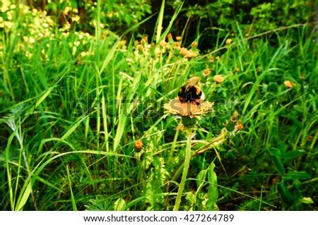 Bumblebee (Bombus terrestris) gathering pollen and nectar on dandelion flower with sunlight in evening. Dandelion(Taraxacum officinale) flowers in forest. Yellow flower field. - stock photo