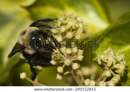 Bumblebee Closeup on Tree Ivy (Fatshedera lizei)