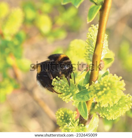 Bumblebee collecting nectar on flowering blooming blossoming pussy willow bush shrub flowers branch, humble-bee, large detailed vertical macro closeup - stock photo