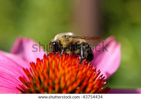 bumblebee collecting pollen from a cone flower