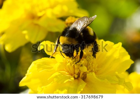Bumblebee collecting pollen, lit day svetom.Makro