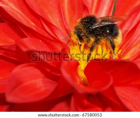 Bumblebee collection pollen on the red flower - stock photo