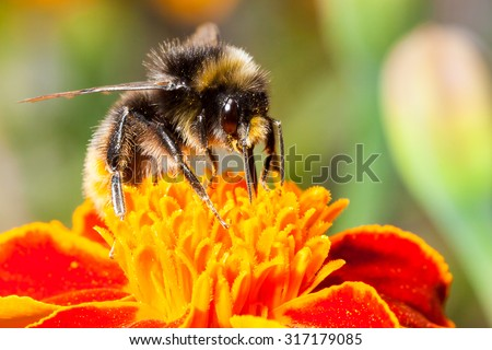 Bumblebee collects nectar on a flower - stock photo