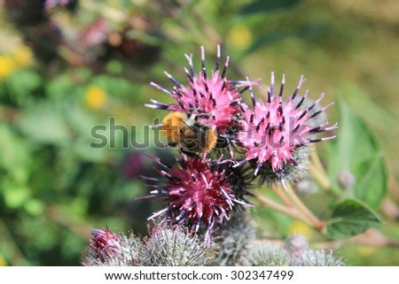 Bumblebee collects nectar on pink flower of burdock - stock photo