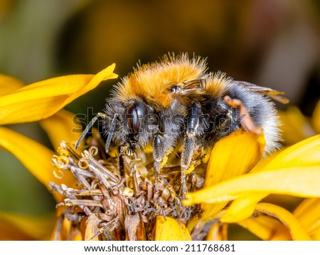 bumblebee drinking nectar yellow flower