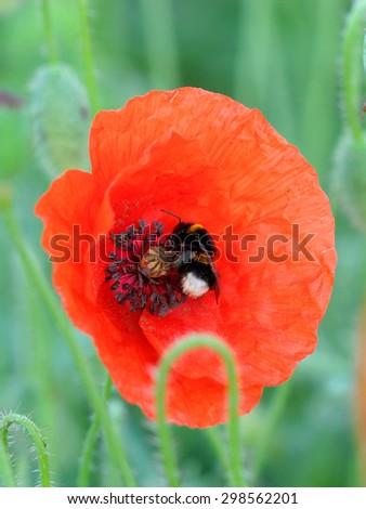 Bumblebee feeding on poppy. Macro - stock photo