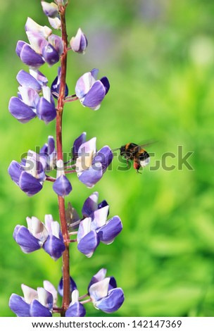 Bumblebee flying near nice pink lupine on green background