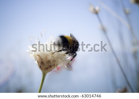 bumblebee gathers pollen from a flower.