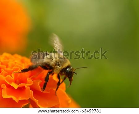 Bumblebee in flight - stock photo