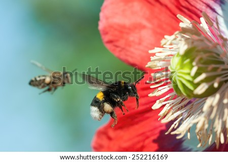 Bumblebee  in flight, with poppy flower, ready to harvest pollen - stock photo