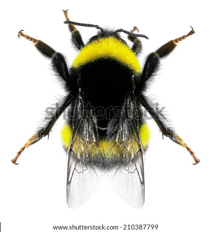 Bumblebee isolated on the white background.  Close up - stock photo