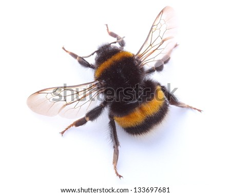 bumblebee isolated on white - stock photo