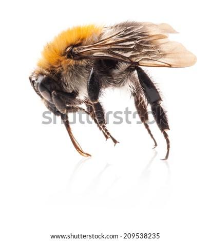Bumblebee Isolated on white background, macro - stock photo