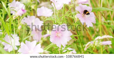 Bumblebee looking for honey in a rose - stock photo