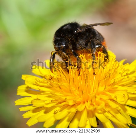 Bumblebee on a dandelion over spring meadow background, low angle view  - stock photo
