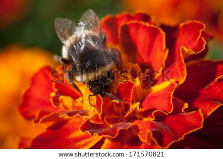 Bumblebee on a flower. Bee on the flower close up. Background and wallpaper. Photo composition - stock photo