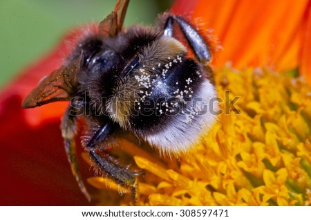 Bumblebee on a flower with pollen on its back