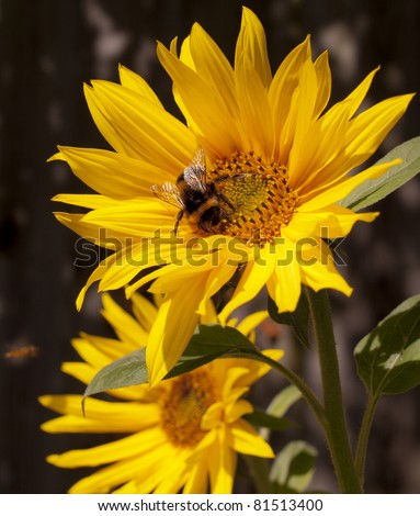 Bumblebee on a sunflower, Summer scene, Nature pollination. - stock photo