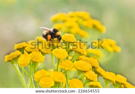 Bumblebee on a wild yellow flower collecting pollen. - stock photo