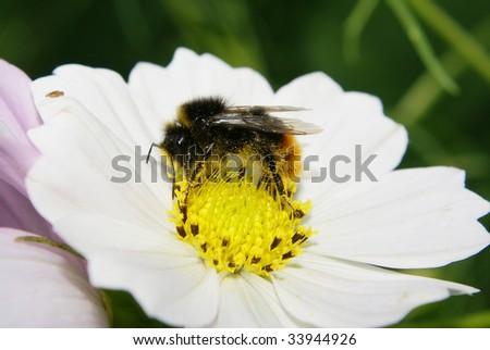 Bumblebee on Cosmos Flower - stock photo