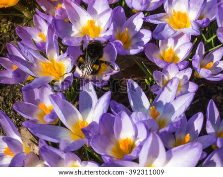 bumblebee on crocuses blooming in the botanical garden in spring - stock photo