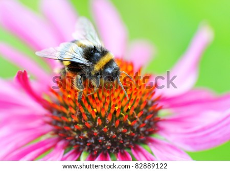 Bumblebee on Echinacea Flower (purple coneflower) - stock photo