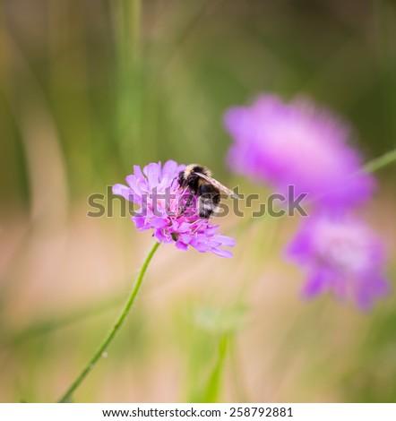 bumblebee on flower - stock photo