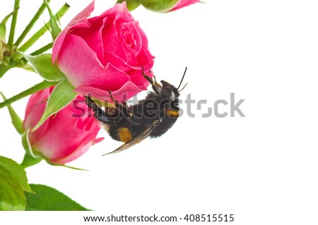 Bumblebee on pink rose bud isolated on white background - stock photo