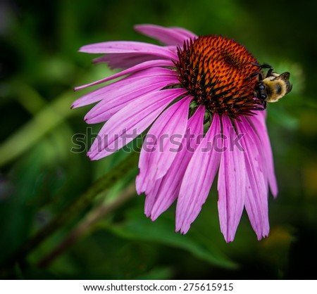 Bumblebee on Purple Cone flower Black and Yellow Bee