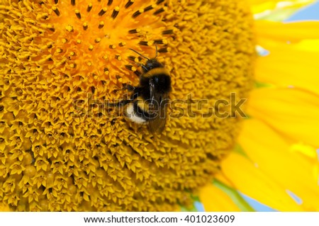 Bumblebee on sunflower closeup. Macro insect on a flower - stock photo