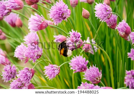 bumblebee on the purple flowers - stock photo