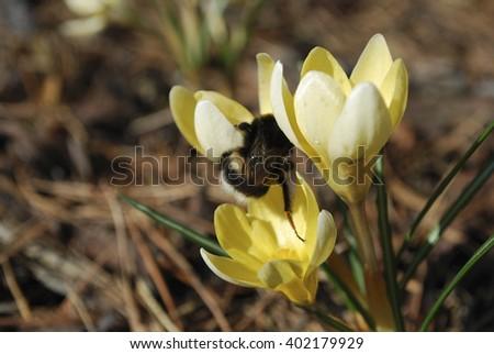 Bumblebee on the yellow crocus. Springtime. - stock photo