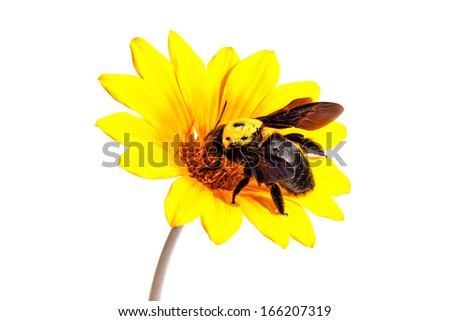 Bumblebee on the yellow flower. Close up. Isolated on white  - stock photo