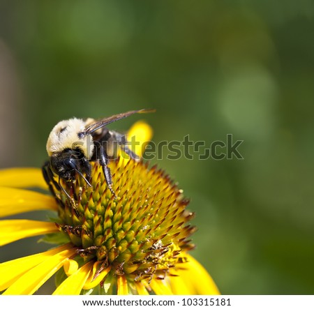 Bumblebee on top of a yellow coneflower