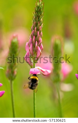 bumblebee on wild meadow flower - stock photo