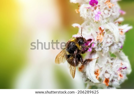 Bumblebee or bumble bee sitting and loading pollen on the flower in a sunny garden.  - stock photo