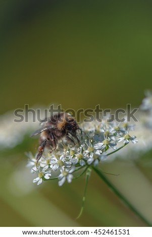 Bumblebee pollinating a cow parsley flower. Sweden - stock photo