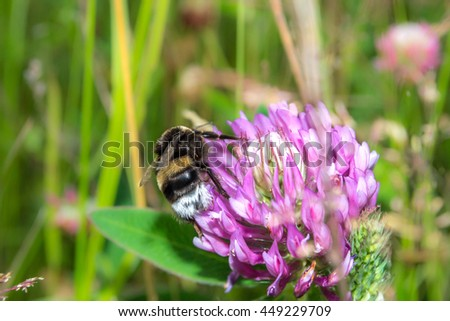 Bumblebee pollinating clover in a meadow. Spring pink flowers. - stock photo